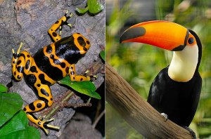 The proposed Nicaragua Grand Canal would pass through many sensitive ecosystems in eastern Nicaragua, with impacts on species such as the yellow-banded poison dart frog and the toucan. (Photo credits: Wikimedia Commons).