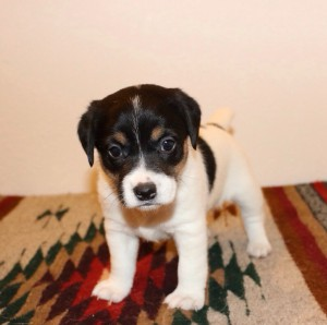 Ruger-tri color male Picture taken 2-1-2014 Sold $850.00