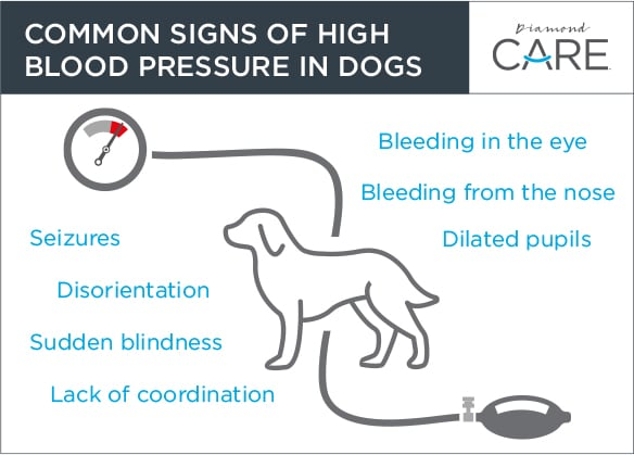 Common Signs of High Blood Pressure in Dogs Guide   Diamond Pet Foods