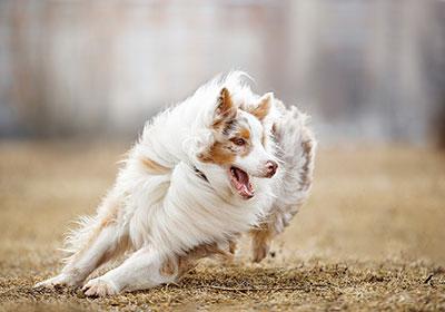 Australian Shepherd Dog Running | Diamond Pet Foods