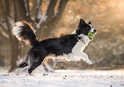 Border Collie Dog Running | Diamond Pet Foods