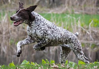 German Shorthaired Pointer Dog Running | Diamond Pet Foods