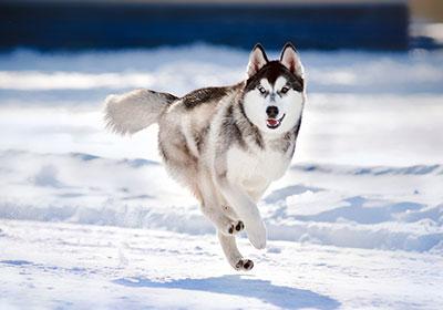 Siberian Husky Dog Running | Diamond Pet Foods
