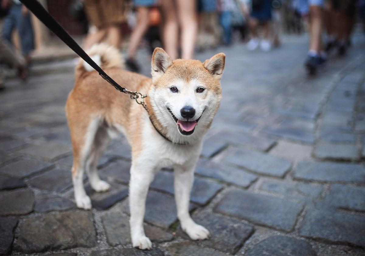 Shiba Inu Walking on Leash in the City   Diamond Pet Foods