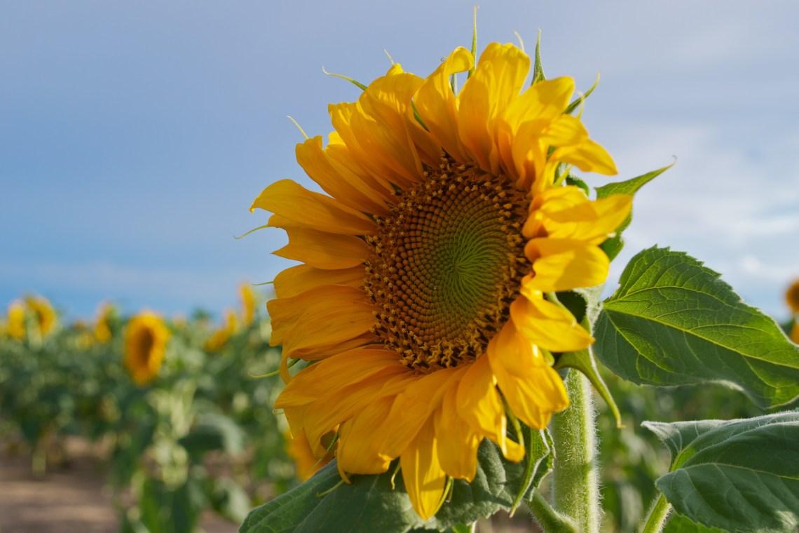 Sunflower Focus
