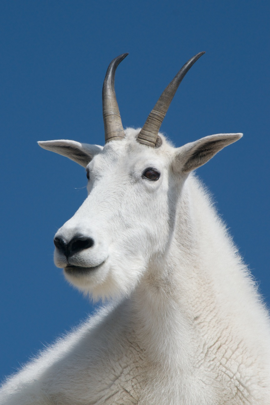 Regal Mountain Goat
