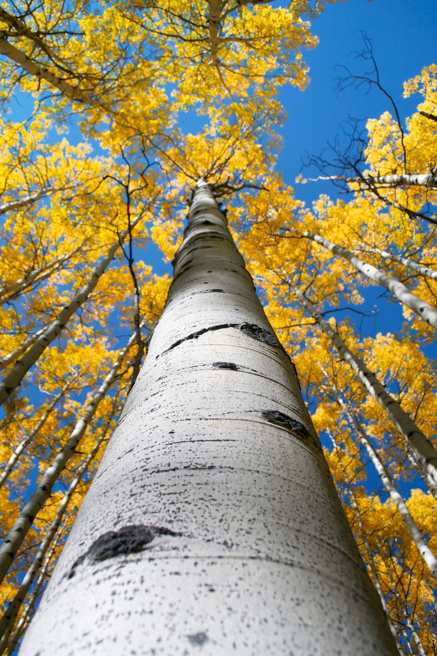 Up an aspen trunk