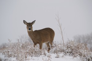 Mule Deer in Snow