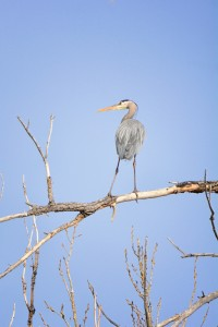 Great Blue Heron All alone