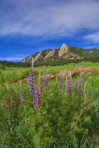 Lupines with Flatirons