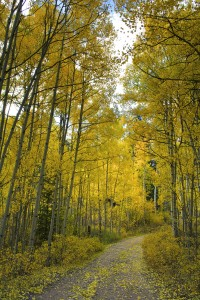 Yellow Aspen Forest Parth