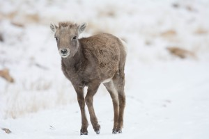 Bighorn Lamb with Snow