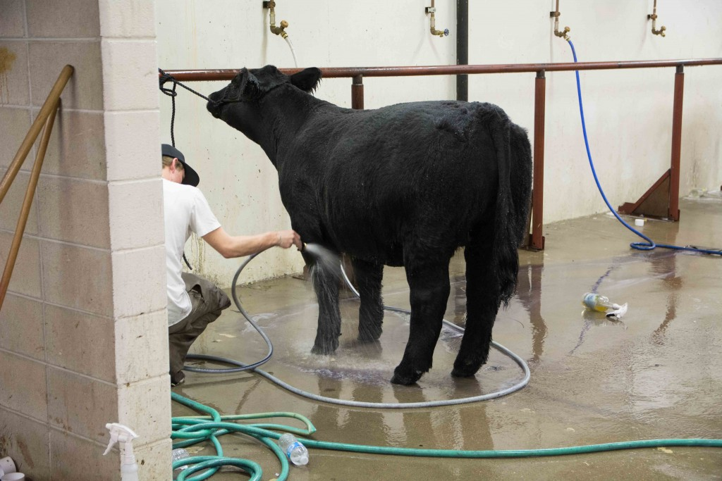 Cleaning cow for showing