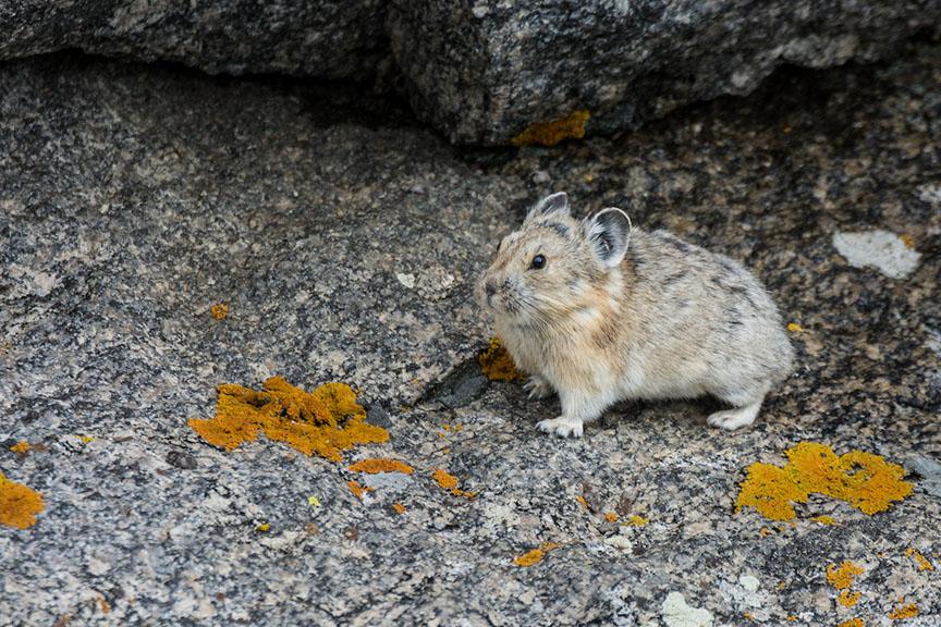 pika with orange rocks
