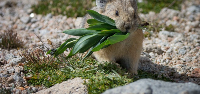 Pika – cute, fun and possibly endangered