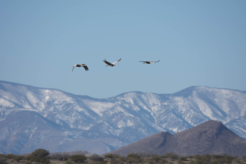 Cranes in Flight at Bosque del Apache
