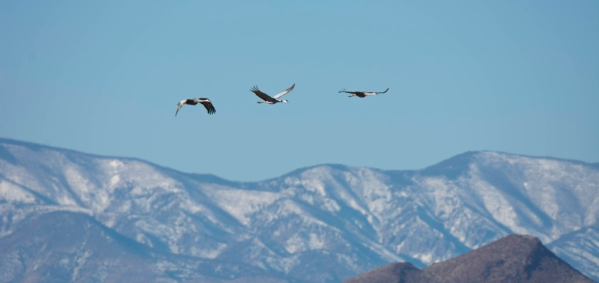 Cranes in Flight at Bosque del Apache