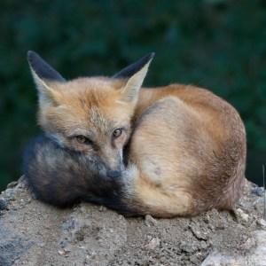 Fox Ball