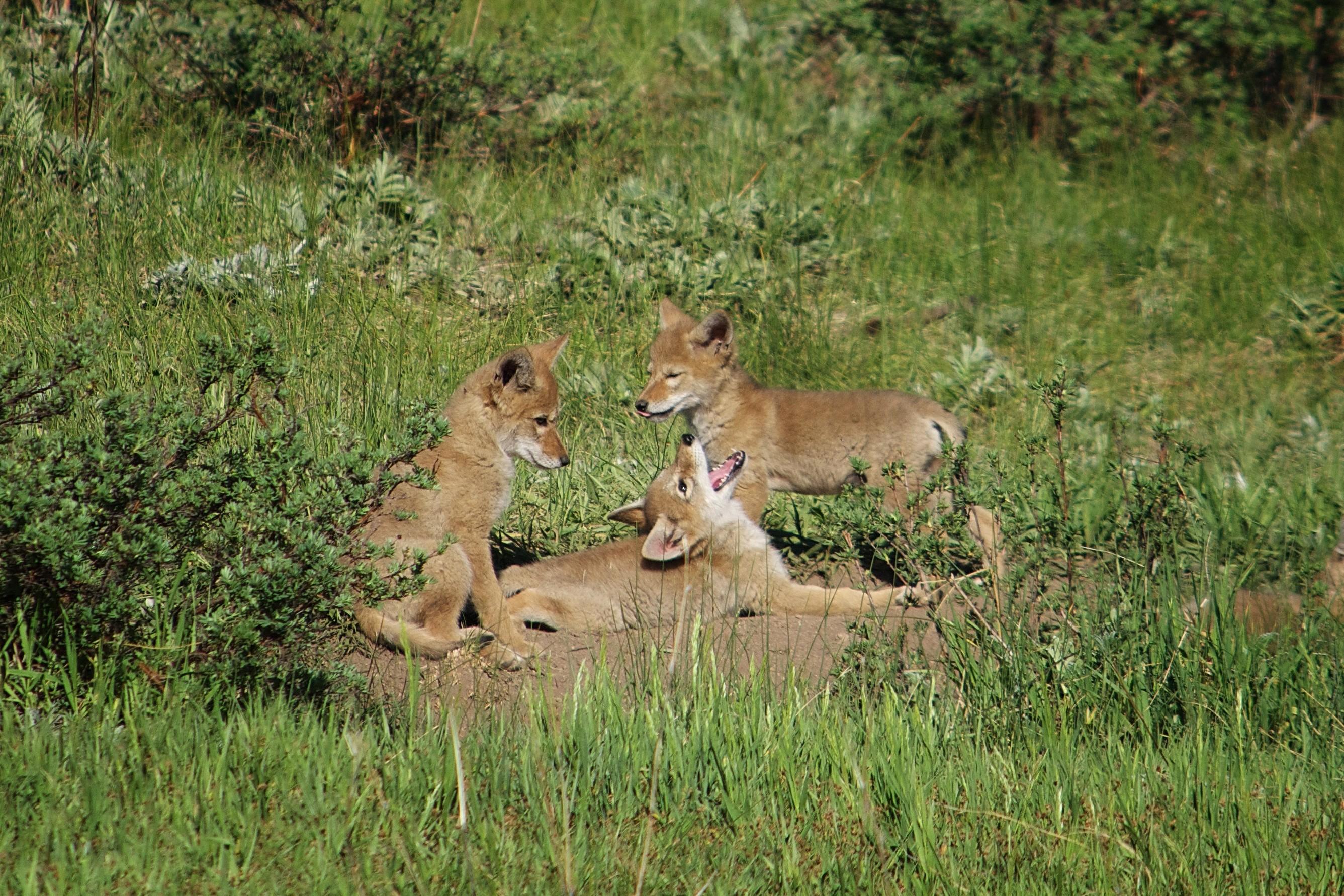 Coyote Pups at Play