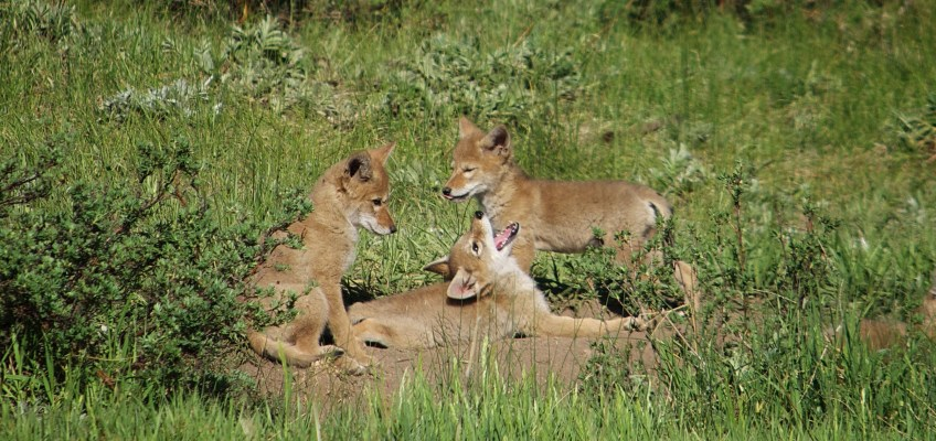 Coyote Pups at Play