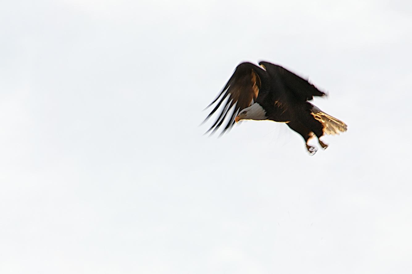Bald Eagle again