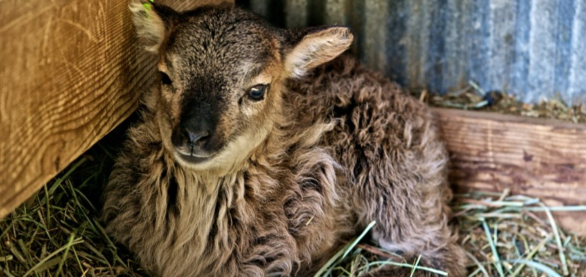 A trip to see Soay sheep and Lambs