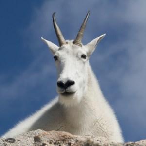 mountain goat portrait