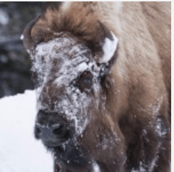 Bison Snowy Face