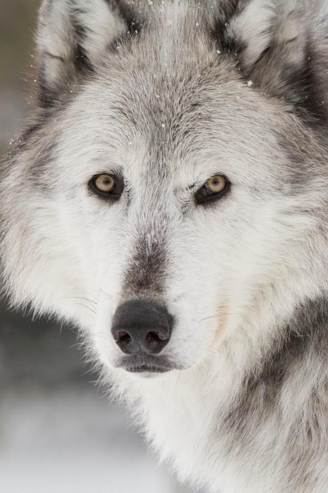Yellowstone National Park Wolf Chasing