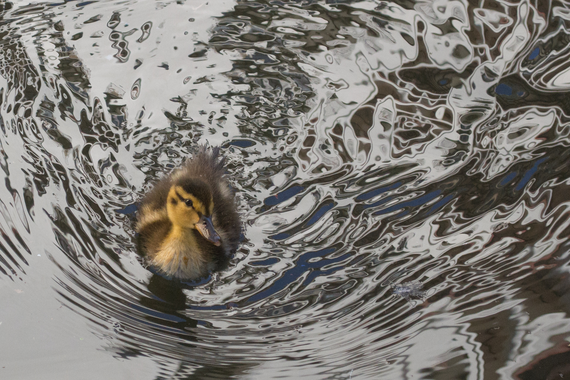 Duckling in River