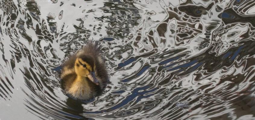Duckling in River