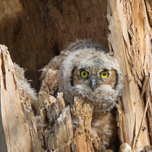 Single Owl