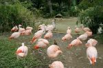 Houston Zoo - Chilean Flamingo