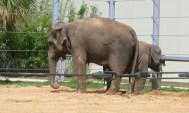 Houston Zoo - Elephant