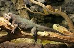 Houston Zoo - Rhinoceros Iguana