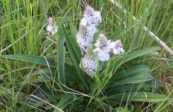 Large orchid in grazing excluded area --spotted leaves