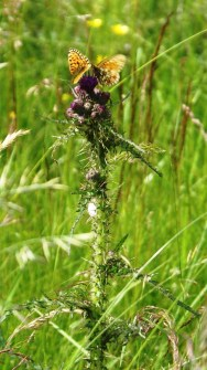 Flitillaries canoodling on a thistle