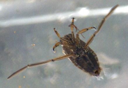 Backswimmer -- Notonectidae glauca