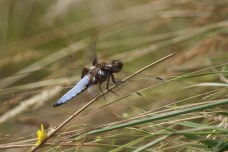 Broad Bodied Chaser August 2013.