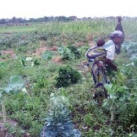 Mixed Cropping: A Successful Organic Strategy for Small Farmers