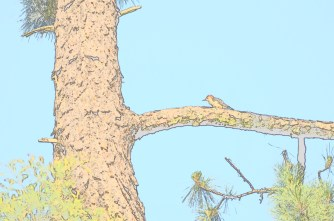 Red-headed Woodpecker in pine tree: sketched.