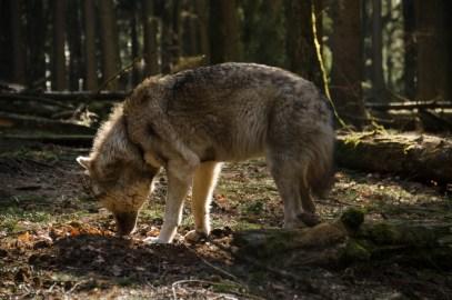 Wolfsrudel-12