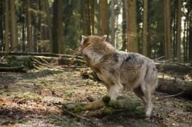 Wolfsrudel-15