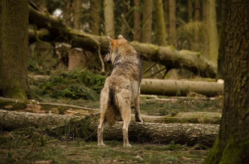 Wolfsrudel-9