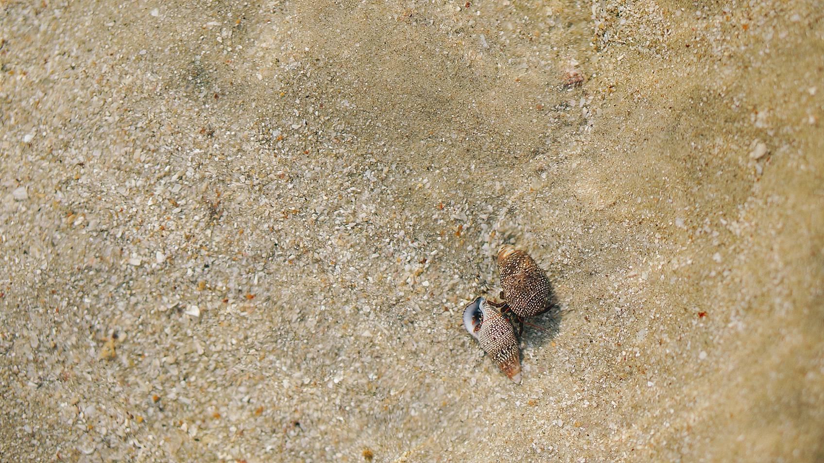hermit crabs in Mexico sand