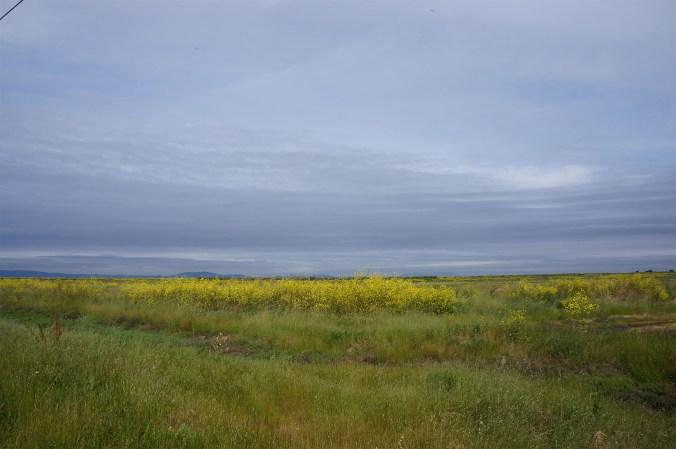 photograph of mustard fields