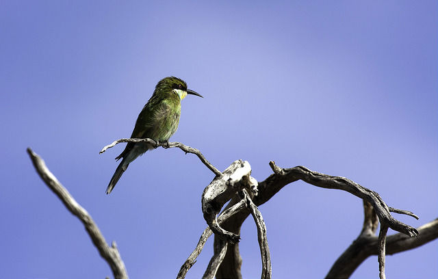 photograph of bee-eater sitting on branch