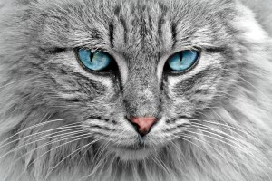 photograph of a long-haired cat with blue eyes