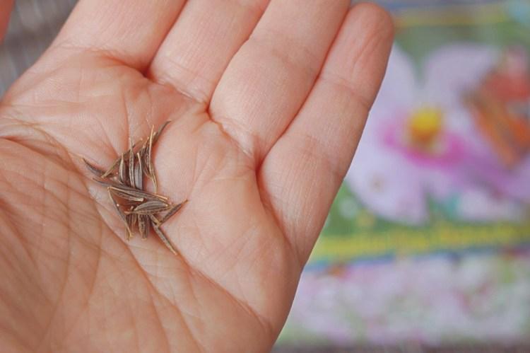 Cosmea Samen pflanzen