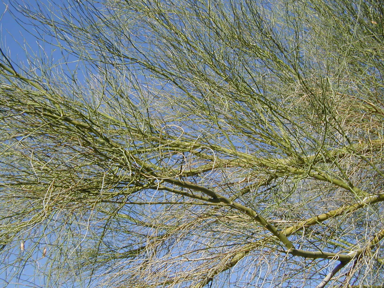 The Green Palo Verde
